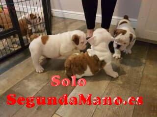 regalo cachoros bulldog ingles