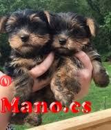 regalo cachorros de yorkshire