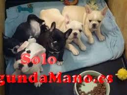 regalo hermosos cachorros bulldog frances de forma gratis