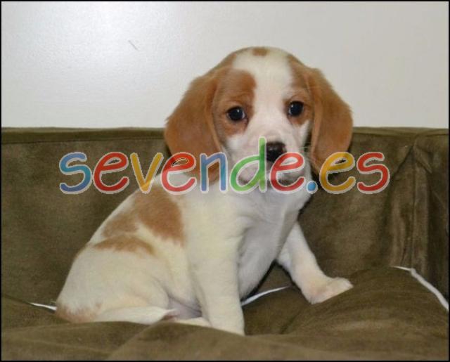 Beagle pups Beagle pups