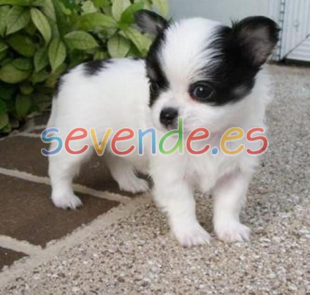 Chihuahuas Tierra de Gracia