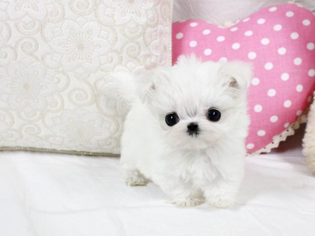 Regalo Navidad Bichón Maltés mini toy Para Adopción