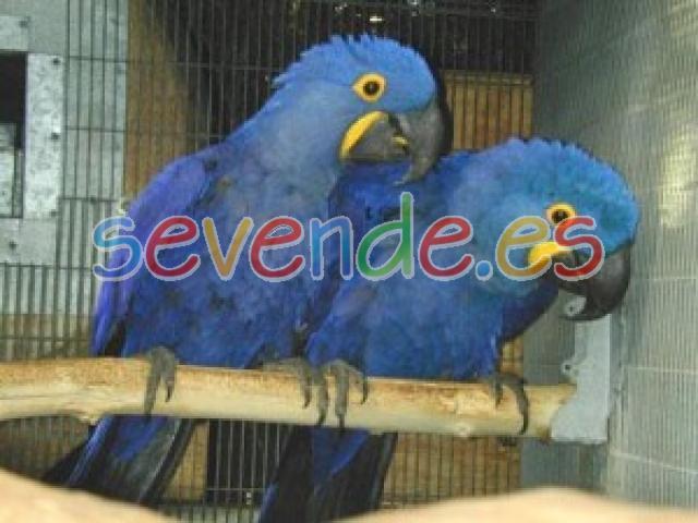 aves guacamayo azul para un nuevo hogar