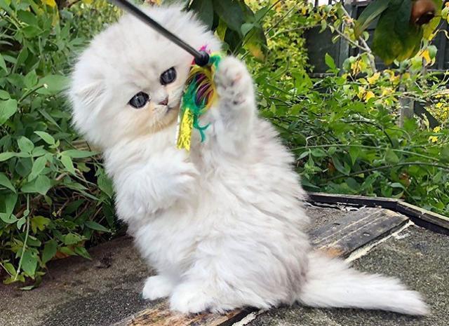 Lindos Gatitos Persas en adopcion