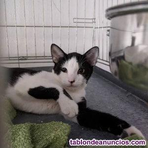 Gatitos epi y blas en adopcion