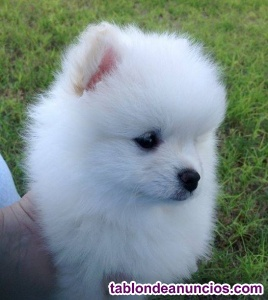 Preciosos cachorros de pomerania