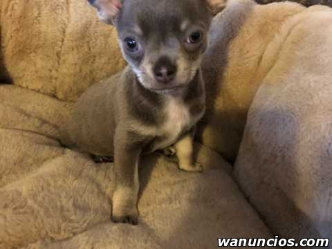 Regalo macho y hembra cachorros di chihuahua mini toy -