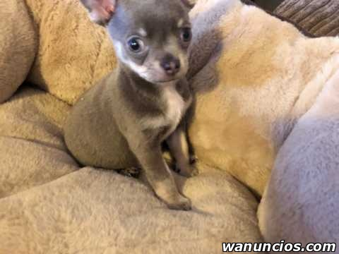 Regalo macho y hembra cachorros di chihuahua toy mini -