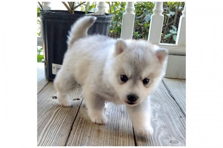 Cachorros Siberian Husky y Pomsky disponibles