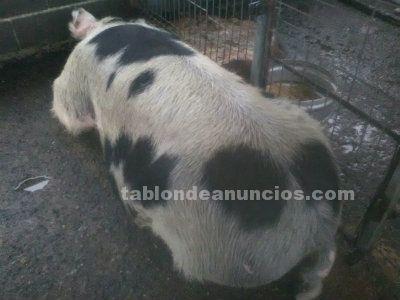 Se venden cerdos de casa