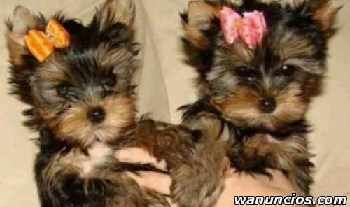 Hermosos Cachorros Yorkshire Terrier - Barcelona