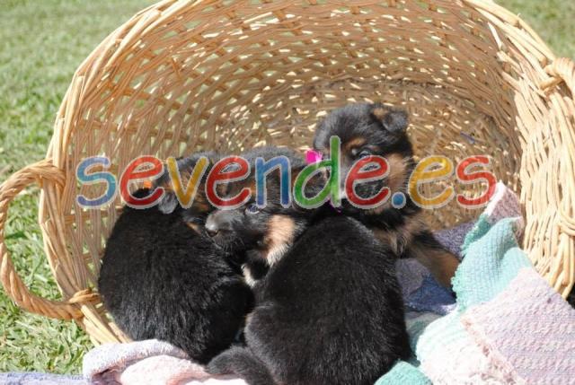 Regalo Cachorros de pastor alemán para Adopci
