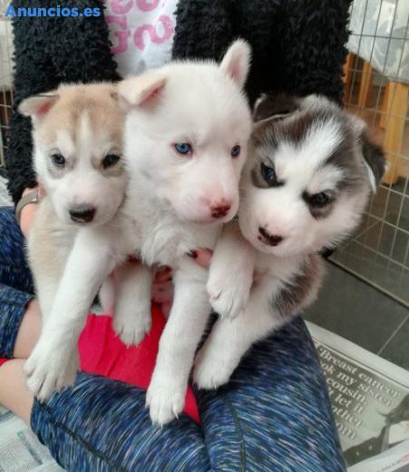 Regalo Cachorros De Husky