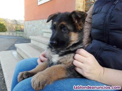 Vendo cachorros pastor aleman