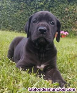 Cachorros gran danes,pedigree