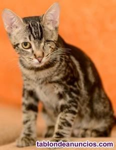 Gatito pardo de un solo ojo en adopción