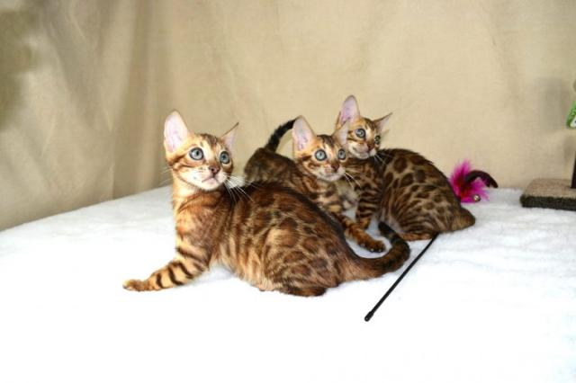 Lindos Gatito bengala lindos en adopcion
