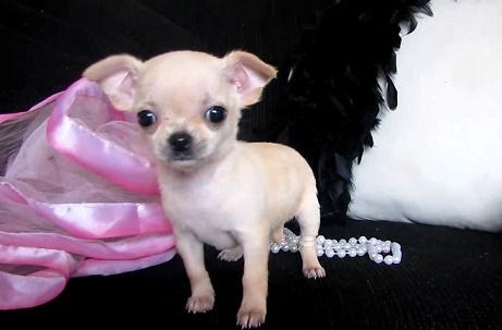 Cachorros chihuahua para adopcion
