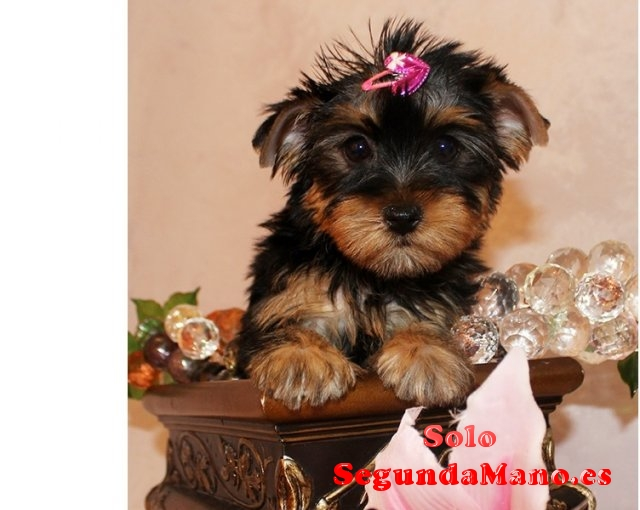 2 Regalo cachorros toy, de yorkshire terrier