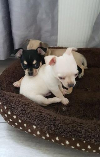 Aturdimiento Cachorros de chihuahua para adopción.