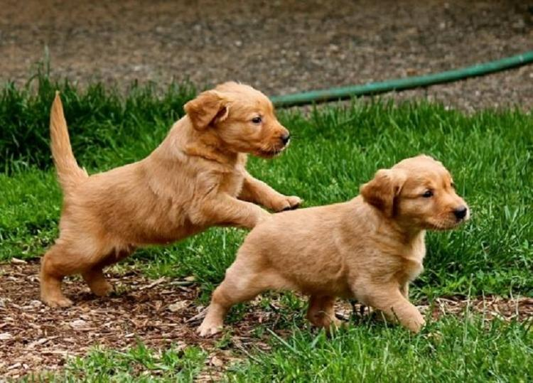 CACHORROS DE GOLDEN RETRIEVER, PEDIGRE