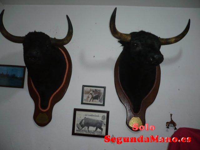 Cabezas de Toros disecadas. articulos taurinos.