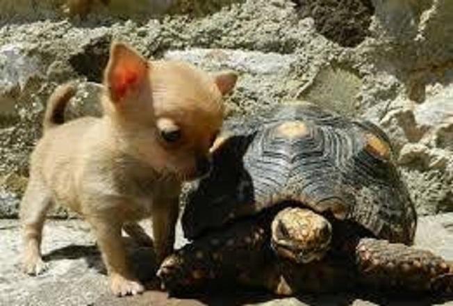 Cachorros De Chihuahua Registrados Saludables