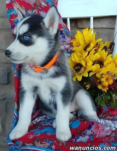* Cachorros Husky Siberiano de raza pura *. - Barcelona