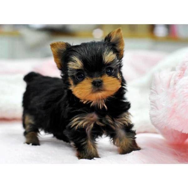 Cachorros Yorkshire terrier Mini Toy