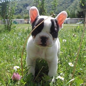 Cachorros bulldog francés disponibles con papeles - A