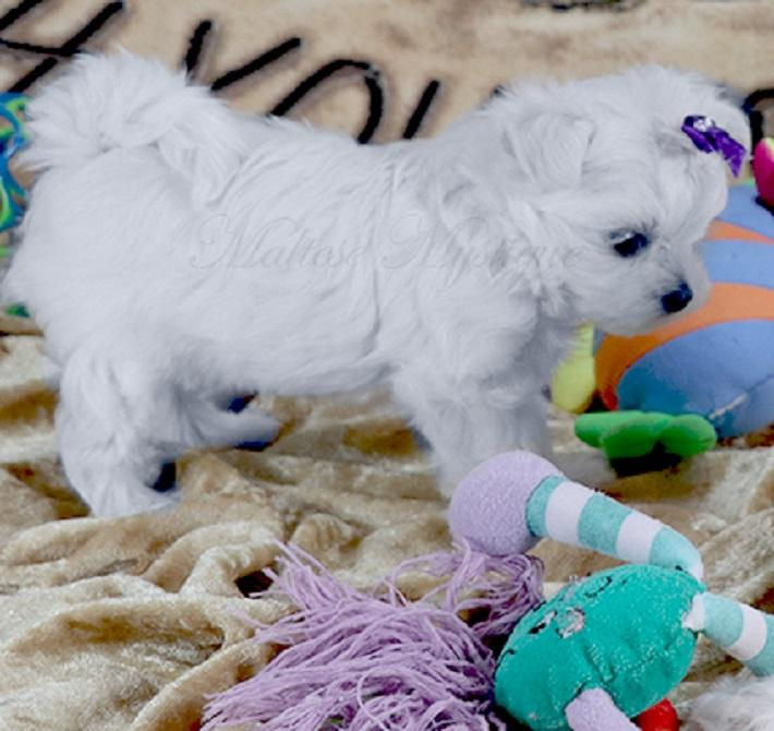 Cachorros de Bichon Maltes Mini Toy Para