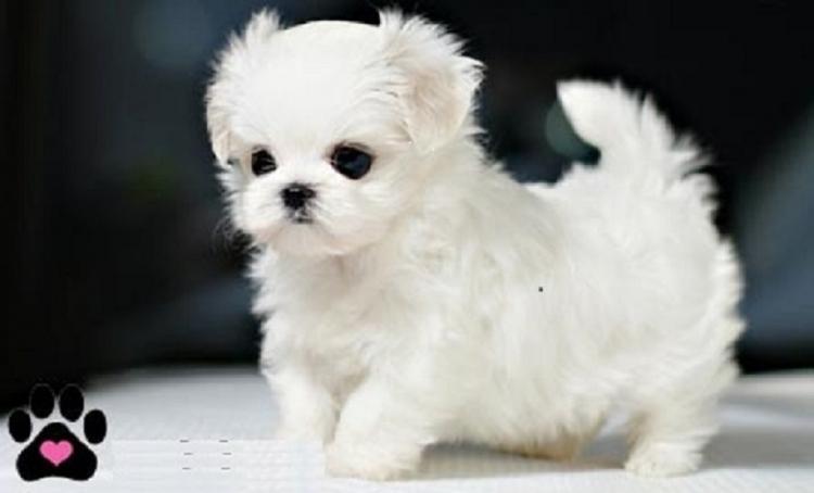 Cachorros de Bichon Maltes Mini Toy Para Ad