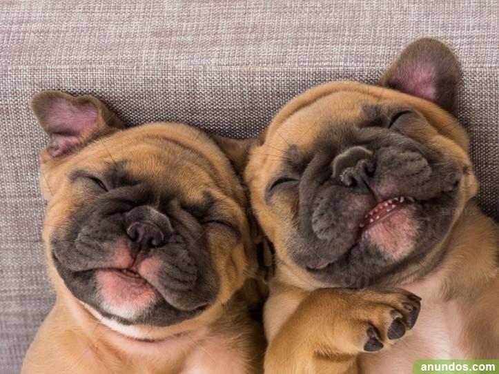 Cachorros de bulldog francés registrados para la adopción