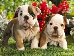 Cachorros de bulldog inglés para la adopcion