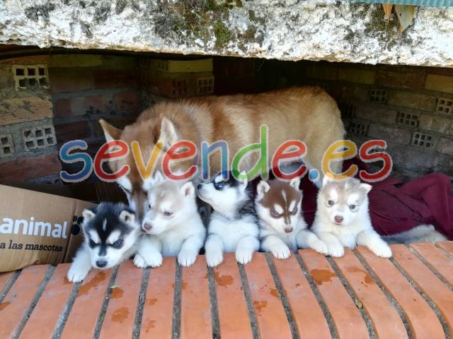 Cachorros de husky con pedigree