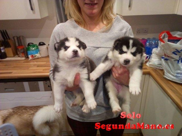Cachorros de husky siberiano de calidad