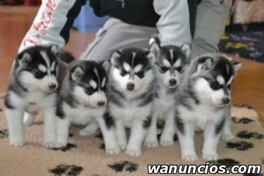 Cachorros de husky siberiano dulce - Madrid