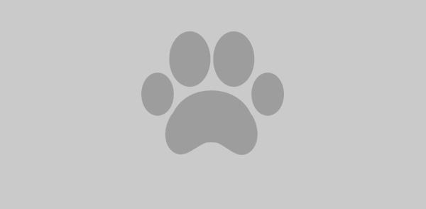 Cachorros de husky siberiano siempre amando el hog