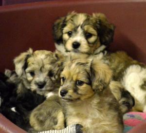 Cachorros de pura raza china Shar Pei.