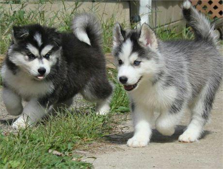 Cachorros husky siberiano vacunados