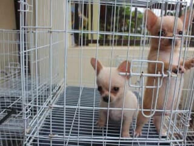 Cachorros súper lindos de Chihuahua para adopción