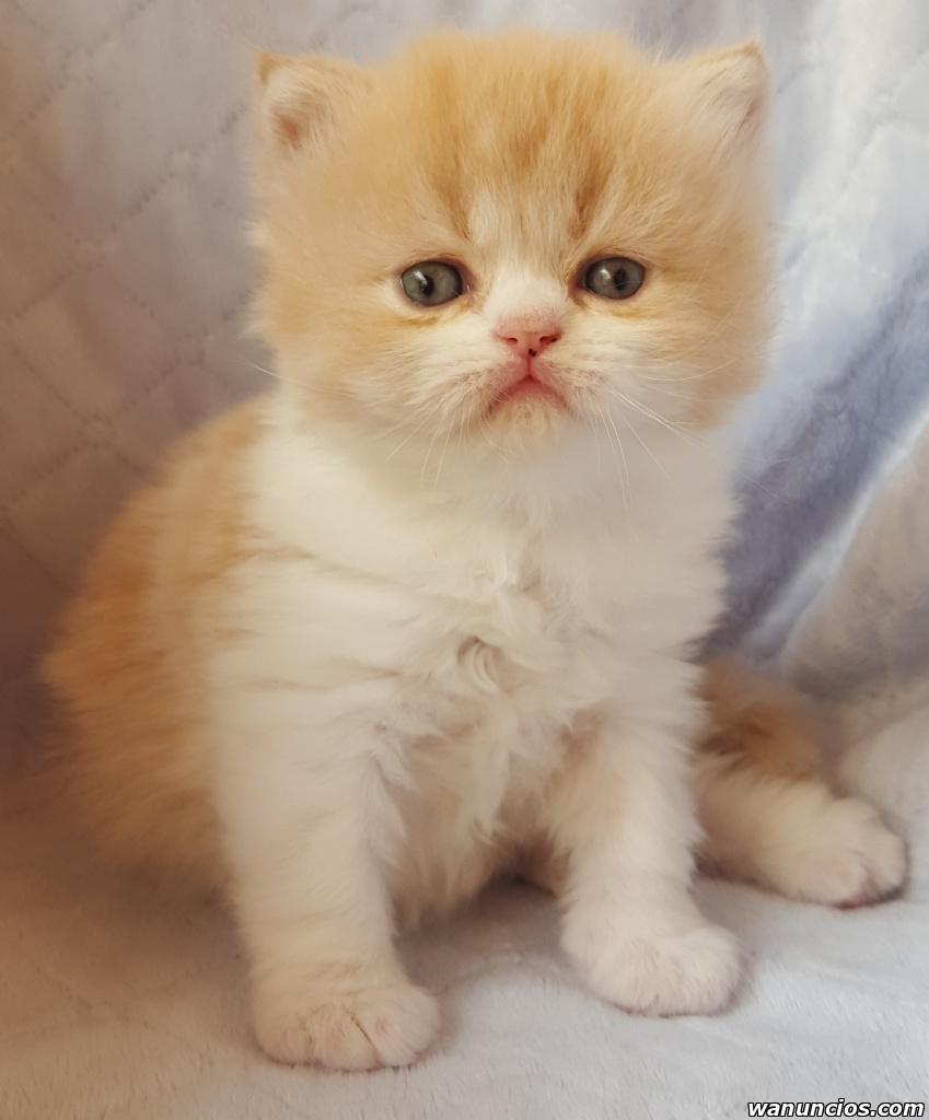 Camada de gatitos persas - Sevilla