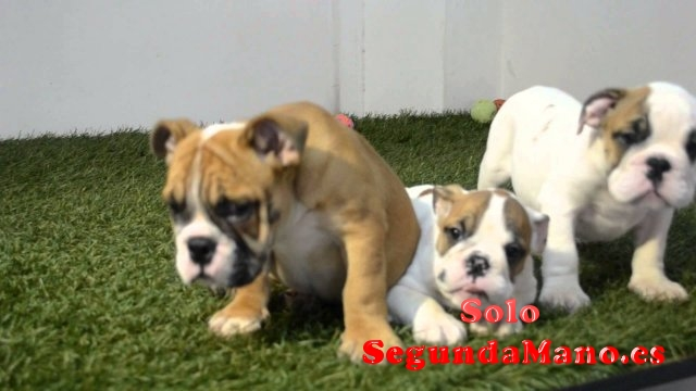 Disponibles de bulldog inglés
