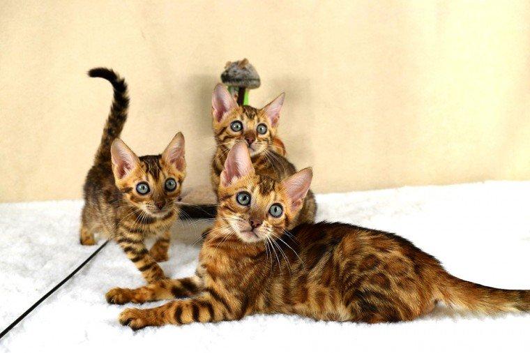 Espectacular camada de gatitos bengala
