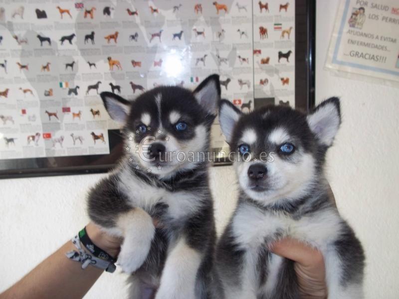 Hermoso Siberian husky cachorros