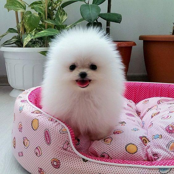 Hermosos cachorros Pomerania, machos y hembras, so
