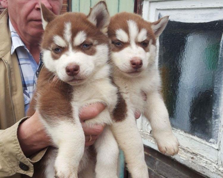 ¿Husky siberiano macho y hembra en adopción?