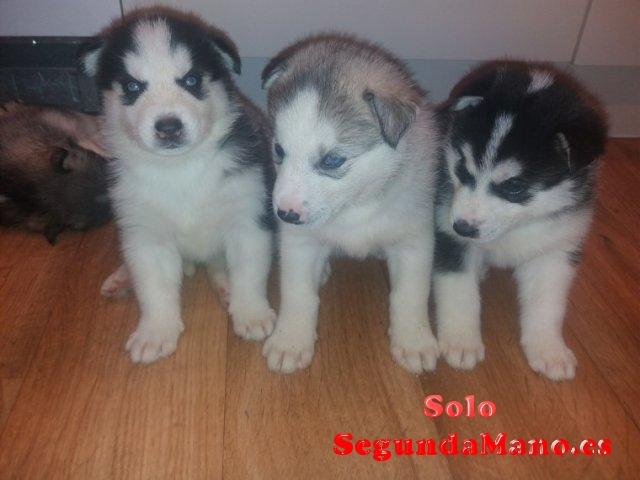 Inicio Cachorros de Husky siberiano entrenados disponibles