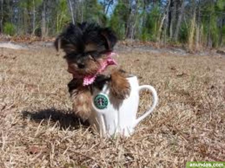 Los cachorros de yorkshire terrier para / adopción -
