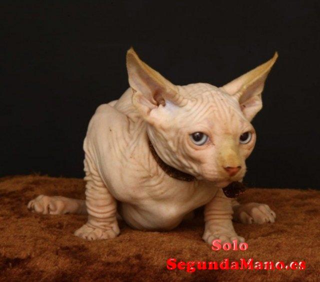 Magnificos Gatitos Sphynx disponables Regalo